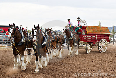 Budweiser Clydesdales Editorial Photo