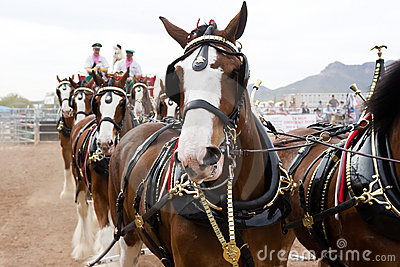 Budweiser Clydesdales Editorial Stock Image