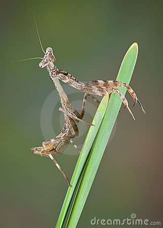 Budwing mantis on plant