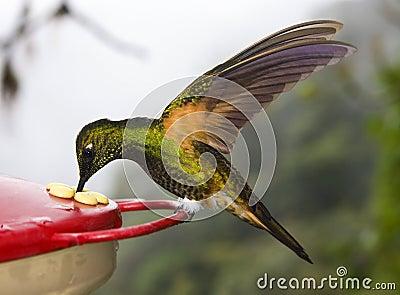 Buff-tailed Coronet Hummingbird - Ecuador