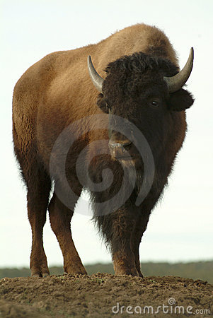 Free Buffalo Stock Image - 5561061