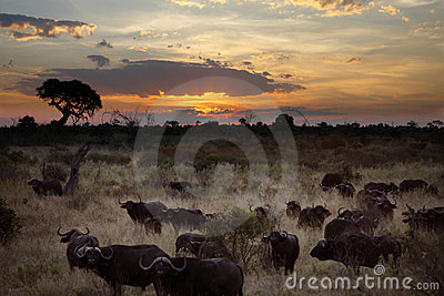 Buffalo - Okavango Delta - Botswana
