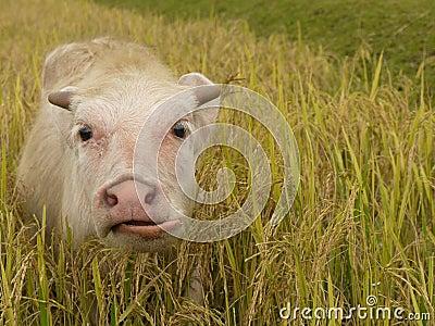 Buffalo calve