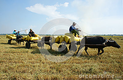 Buffalo cart transport paddy in rice sack Editorial Photo