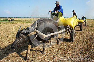 Buffalo cart transport paddy in rice sack Editorial Stock Image