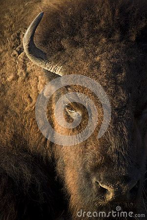 Buffalo close up portrait with strong textures and