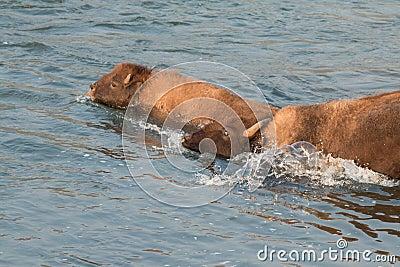 Buffalo crossing river Stock Photo