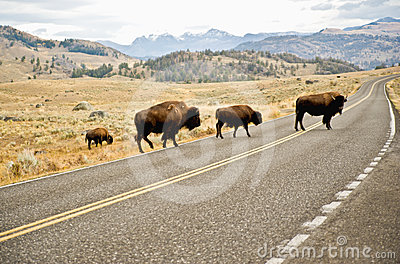 Buffalo crossing the road