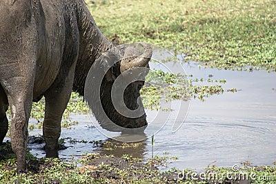 A buffalo drinking