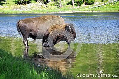Buffalo drinking water
