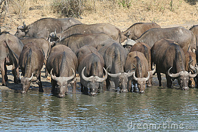 Buffalo Drunking water