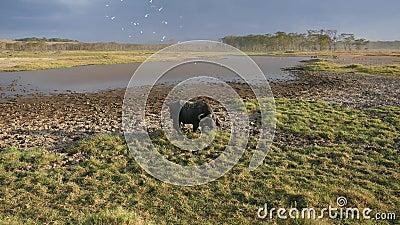 Buffalo est enduit de la boue de la chaleur frôlant par l'étang dans la savane africaine clips vidéos