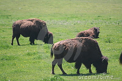 Buffalo in field