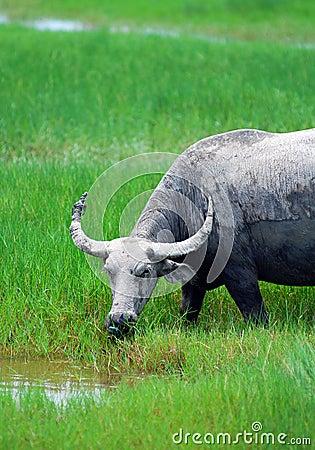 Buffalo grassing