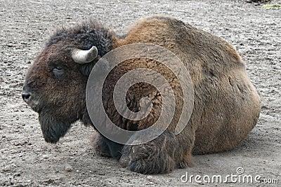 Buffalo on the ground