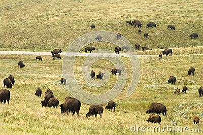 Buffalo Herd 6