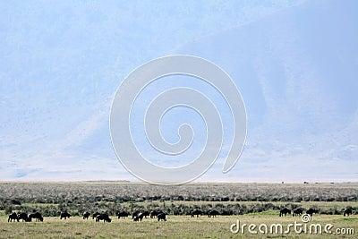 Buffalo Herd - Ngorongoro Crater, Tanzania, Africa
