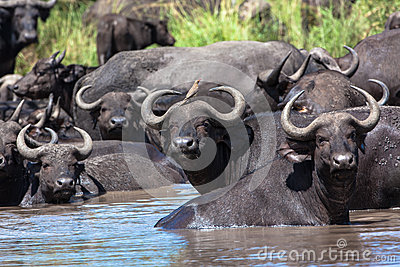 Buffalo Herd Water Wildlife