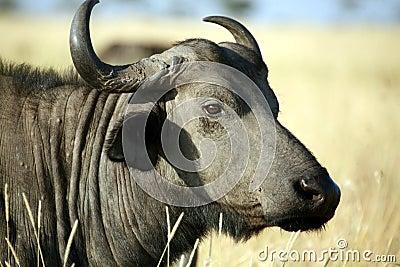 Buffalo (Kenya)