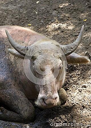 Buffalo lays on the ground