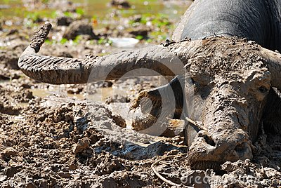 Buffalo In The Mud Royalty Free Stock Photos - Image: 15920178