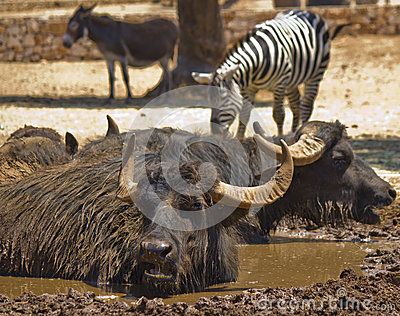 Buffalo in the mud and zebra