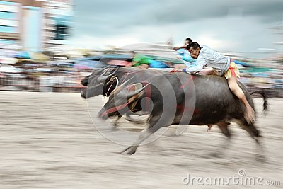 Buffalo Racing Festival Editorial Stock Photo