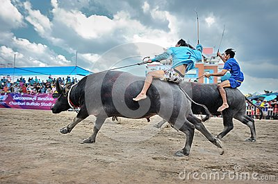 Buffalo Racing Festival Editorial Stock Image
