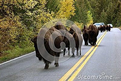Buffalo On Road