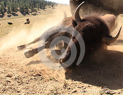 Bison aka Buffalo rolling on dirt, Colorado, USA