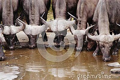 Buffalo, South Africa