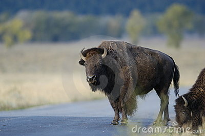 Buffalo standing on road