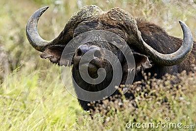 Buffalo standing and staring
