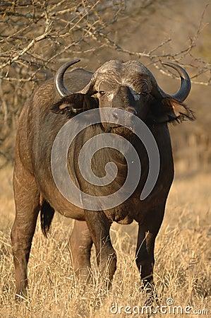 Buffalo (Sycerus caffer)