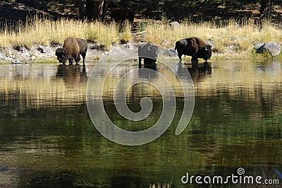 Buffalo at the watering hole