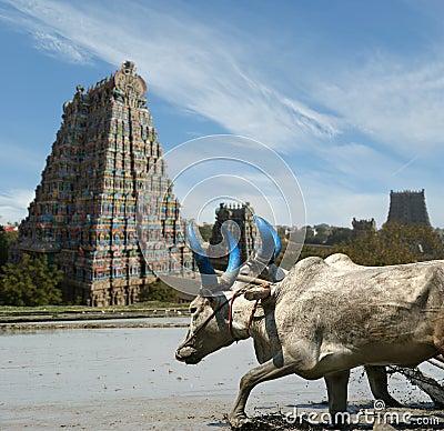 Buffaloes on the background of Meenakshi Hindu