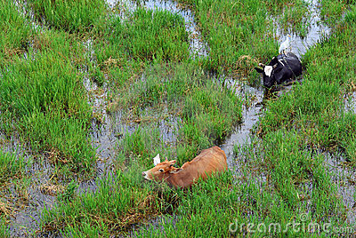 Buffaloes and egrets in the paddy field