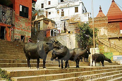 Buffaloes at Ganges Editorial Image