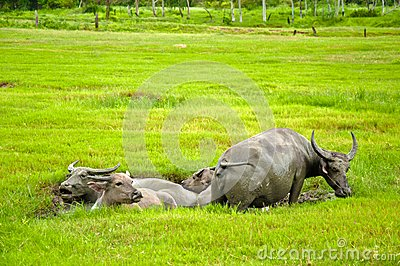 Buffaloes in the mud puddle