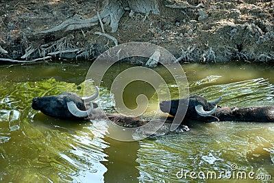 Buffalos in water