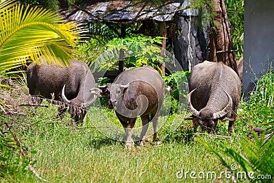 Buffel på den KohKho Khao ön