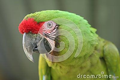 Buffon Macaw