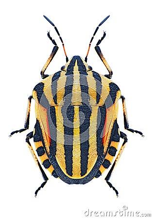 Free Bug Graphosoma Lineatum Stock Photos - 81862013