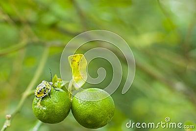 Bug on immature oranges