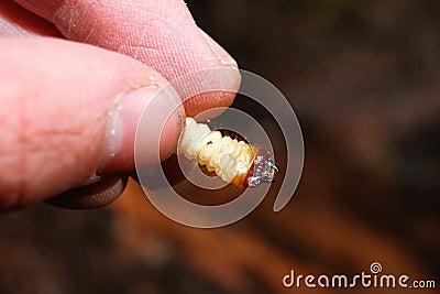 Bug larva