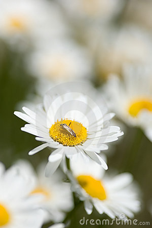 Free Bug On Daisy Royalty Free Stock Image - 9674246