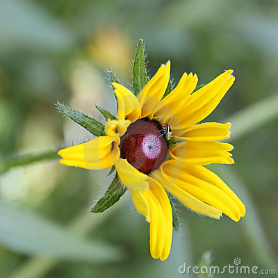 Bug on Rudbeckia flower (Coneflower).