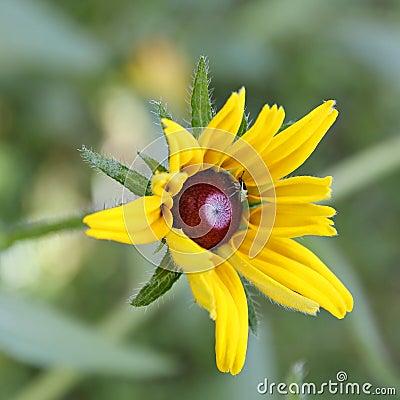 Bug on Rudbeckia flower (Coneflower).