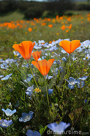 Free Bug S Eye View Vertical: California Poppy, Baby Blue Eyes, And Goldfields Stock Images - 639994