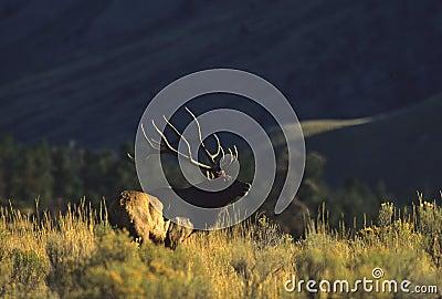 Bugling Bull Elk in Sage
